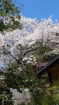 山桜満開❗