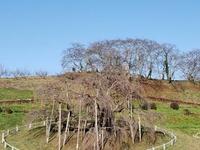滝桜の森‼️
