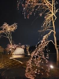 沢乙の滝桜!