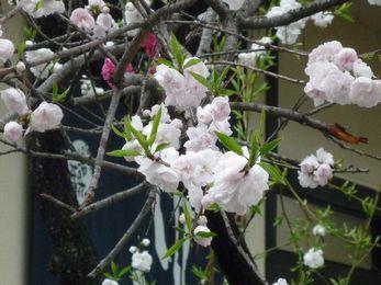咲き分け花桃2