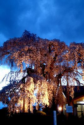 新左衛門の湯 桜の開花状況