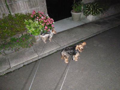 最近の夕方の散歩