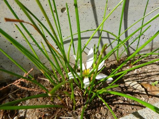 玉鬘ようやく小さく咲きました