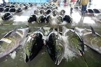巻網漁船によるクロマグロの水揚げ
