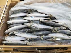 まぐろ延縄漁の冷凍餌検品