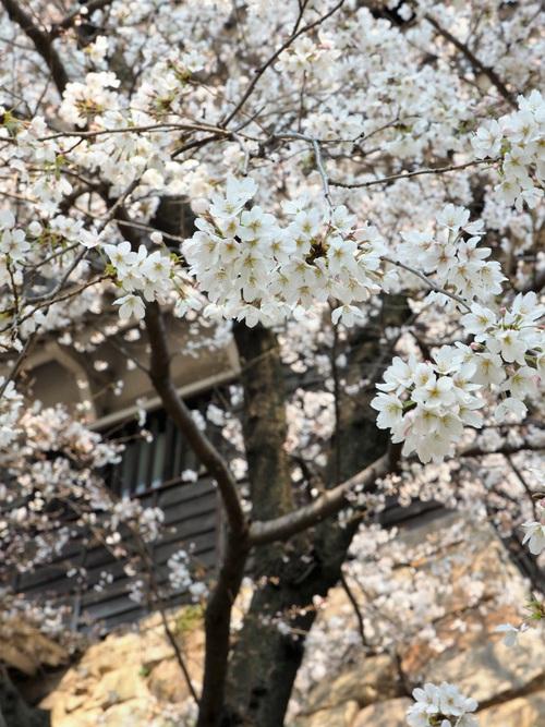 桜の満開に出会う旅