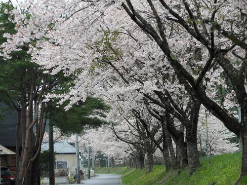 気仙沼の桜が満開に