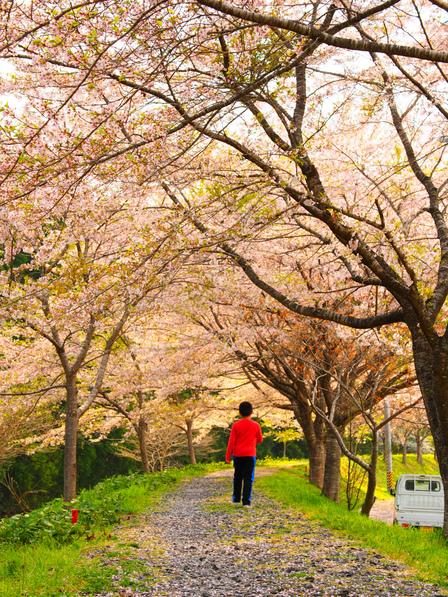気仙沼の桜がピークを過ぎて