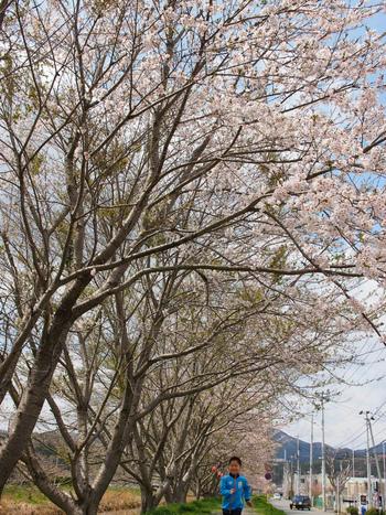 気仙沼の桜が開花