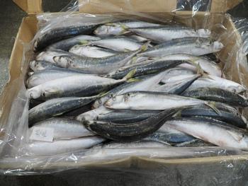 まぐろ漁の冷凍餌検品