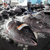 太平洋クロマグロ問題の続報
