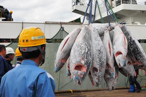 太平洋クロマグロの資源回復を
