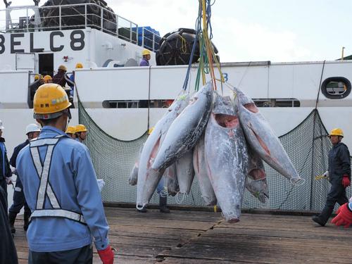 大西洋クロマグロの水揚げ視察