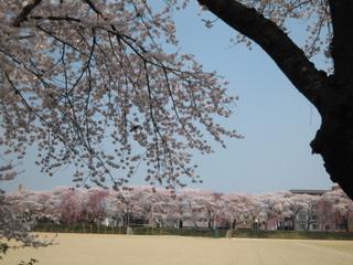 仙台一高の桜