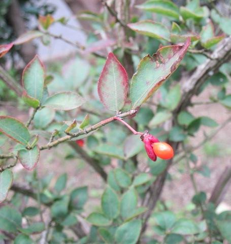 橙赤色の種子が頭を出しているニシキギ