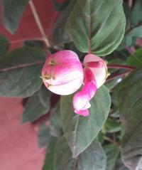 花が咲く時変わっている、ローズリーフセージ