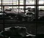原発半径10km県内の牛たち