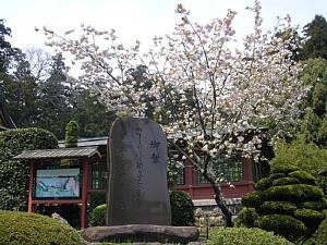 鹽竈ザクラ他、鹽竈神社の桜