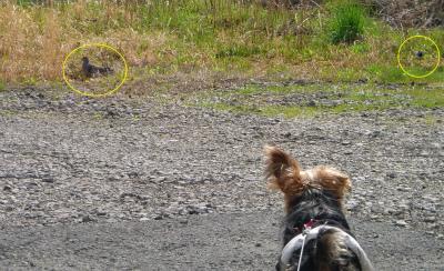 犬と散歩:逃げない鳥達