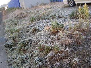 朝の散歩は霜を踏みながら