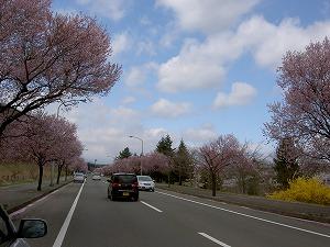 紫山と将監の桜