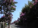 百日紅の並木道
