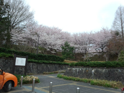 長命館桜満開