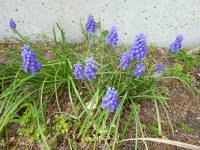 散歩 春の花 続き