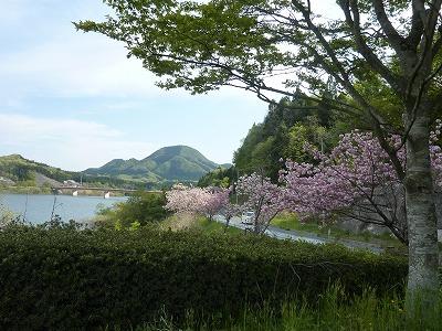 南川ダム:桜が綺麗