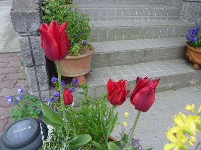 チューリップが咲き終りそう チャイブはようやく咲き出しました