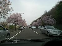 仙台の桜もう満開