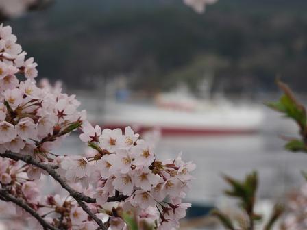 ようやく桜満開に