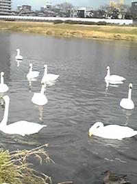 白鳥の湖…じゃなくて川か(°◇°)