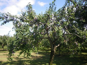 「かづの北限の桃」がおいしく実りました