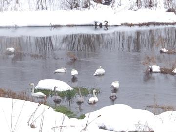 冬到来・白鳥
