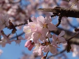 湯瀬の桜(2)