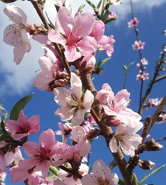 北限の桃の花