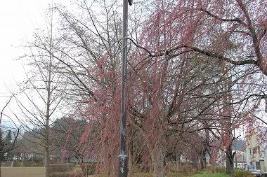 アメニティパークの桜
