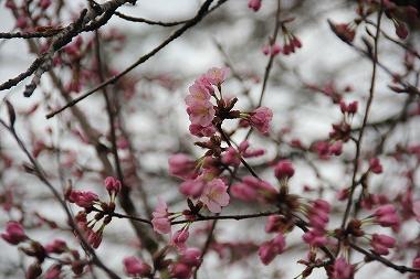 鹿角アメニティパークの桜