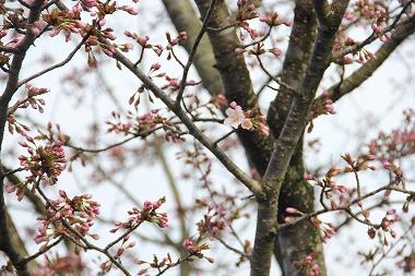 米代川河川公園の桜