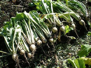 しぼり大根 収穫