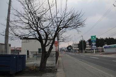 キムラ鋼鈑の桜