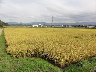 お米の収穫時期になりました。(ラジオ告知)