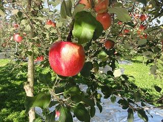 実りの秋(りんご)