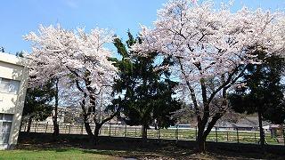 職員会館隣の桜