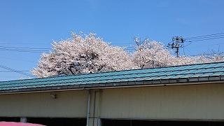 庁舎裏口からの桜