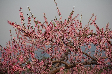 北限の桃畑