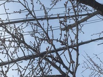 鹿角の桜 4月6日