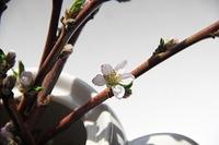 職場の北限の桃の花 咲きました
