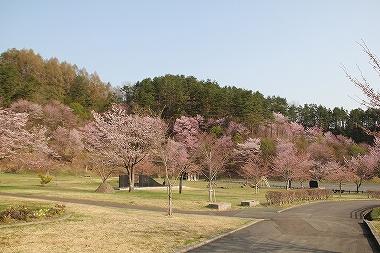 史跡尾去沢鉱山の桜
